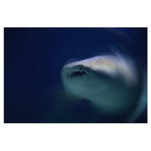 chuckles shark