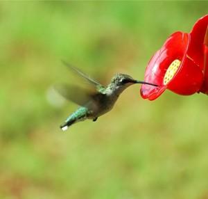 chuckles hummingbird